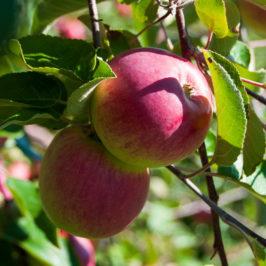 pommes ile dorleans