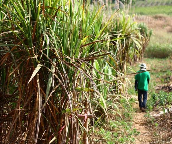 Une personne marchant dans un champ de canne à sucre.