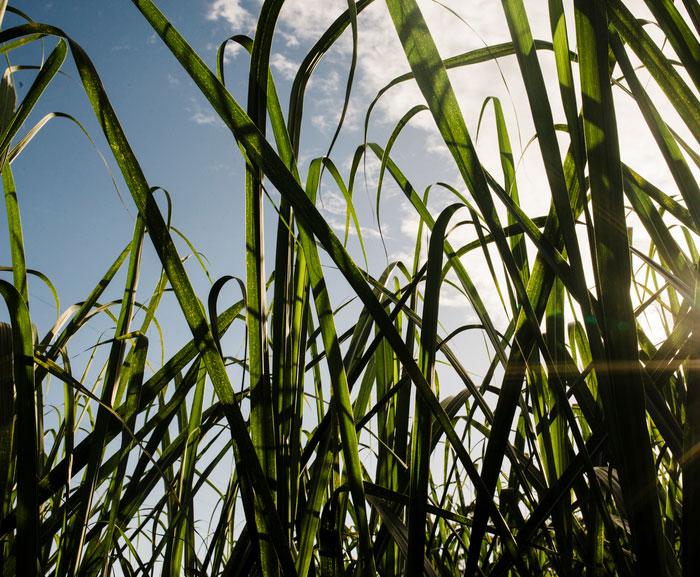 Sugar canes growing